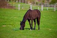 農牧場駿馬吃草圖片